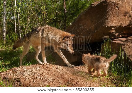 Grey Wolf (canis Lupus) And Pup Come Together