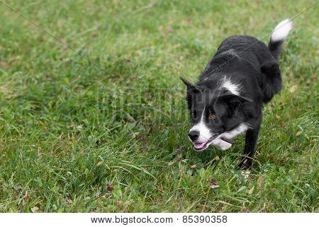 Stock Dog Stalks Left