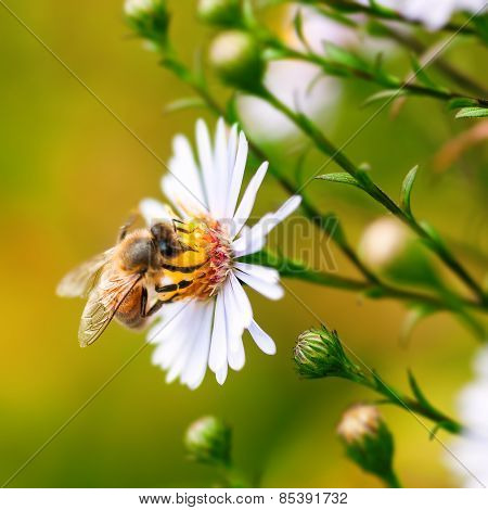 Single honey bee gathering pollen from a daisy flower