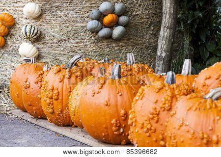 Halloween Big Halloween Cucurbita Pumpkin Pumpkins From Autumn Harvest