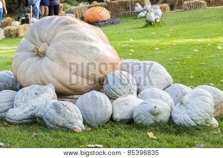 Cucurbita Maxima Giant Pumpkin Cucurbita Pumpkin Pumpkins From Autumn Harvest