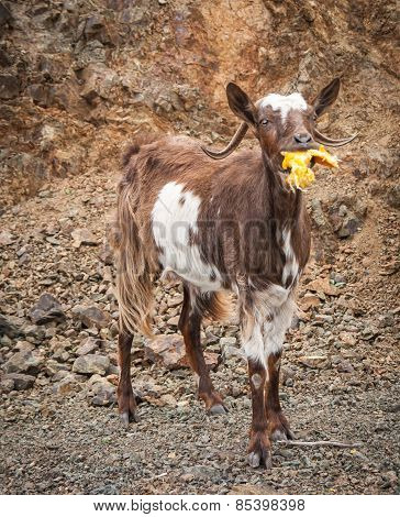 Goats Eating Oranges, Peloponnese, Greece