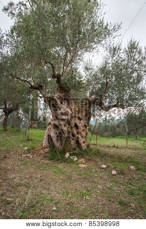 Olive Tree, Sparta, Peloponnese, Greece