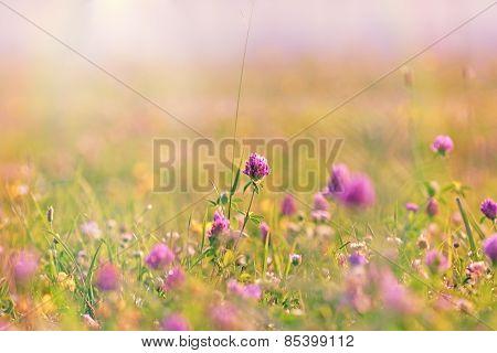 Flowering of red clover in meadow