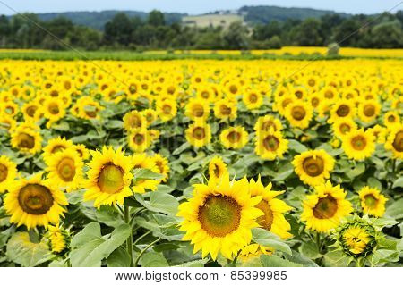 Large Happy Sunflower And Sunflower Oil Crop On A Sunny Day In The South Of France
