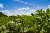 stock photo of soybeans  - Soybean field against the blue sky - JPG