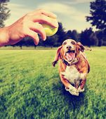picture of basset hound  -  basset hound running to try and catch a tennis ball that is being thrown by a person toned with a retro vintage instagram filter - JPG