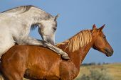 stock photo of mating animal  - Grey and red horse mating in the field - JPG