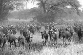 pic of wildebeest  - Herd of blue wildebeests Connochaetes taurinus moving during the Great Migration in Serengeti National Park Tanzania. Black and white image.