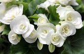 image of begonias  - gentle white flowers begonias and green leaves - JPG