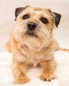 pic of border terrier  - A photograph of a Border Terrier dog
