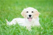 stock photo of golden retriever puppy  - Portrait of a very young golden retriever - JPG