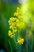 stock photo of hay fever  - Blooming goldenrod flower on green meadow background - JPG