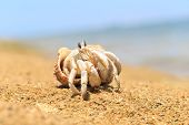 stock photo of hermit crab  - Hermit Crab in a screw shell - JPG