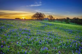 picture of wildflowers  - Texas bluebonnet spring wildflower field at sunrise - JPG