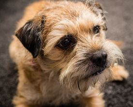 pic of border terrier  - A photograph of a Border Terrier dog  - JPG