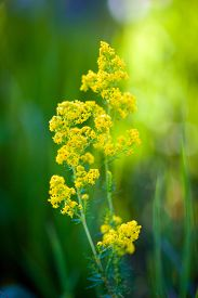 stock photo of goldenrod  - Blooming goldenrod flower on green meadow background - JPG