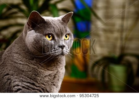 british blue cat portrait