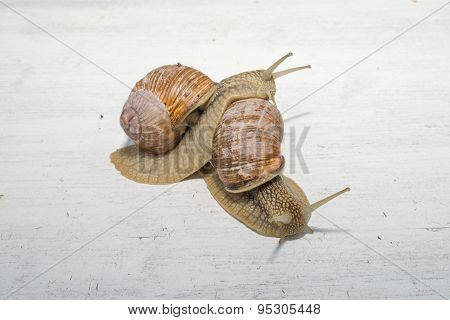 Two Big Snails Posing