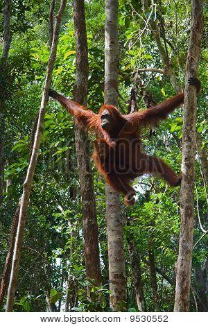 Female Of The Orangutan With A Cub.