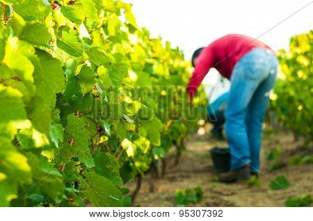 Grappe Harvesting