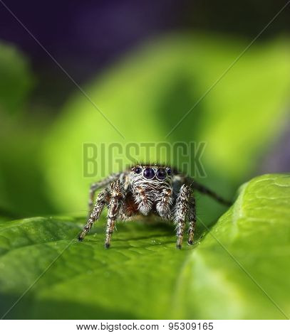 Jumping Spider In Natural Environment
