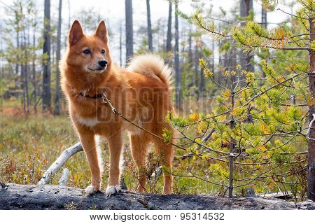 Hunting Dog On The Fallen Pine