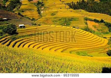 Terraced rice field in rice season in Mu Cang Chai, Vietnam