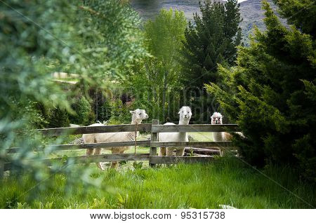 Three white alpacas