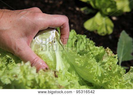Harvesting Lettuce