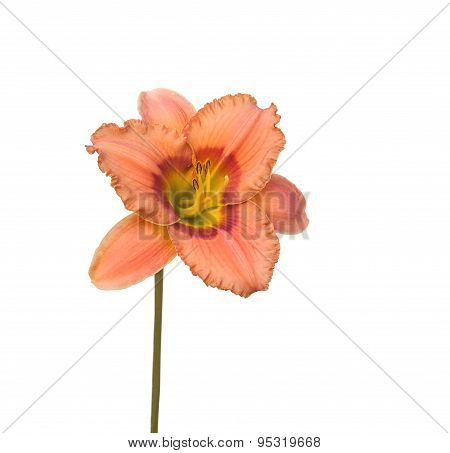 Salmon-colored Daylily, Hemerocallis