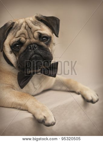 Portrait of a Beautiful male Pug puppy with a bow laying down