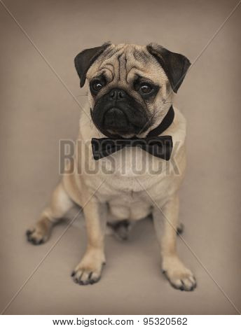 Portrait of a Beautiful male Pug puppy with a bow siting in front of the beige background
