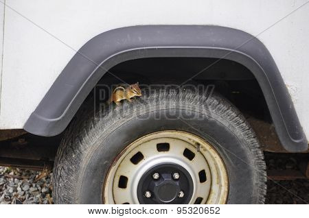 Squirrel on a Wheel