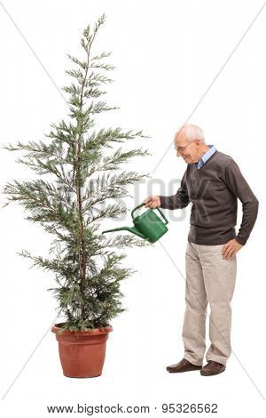 Full length profile shot of a casual senior watering a coniferous tree in a pot isolated on white background