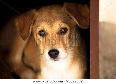 Adorable young brown dog portrait, looking straight to the camera with interest.