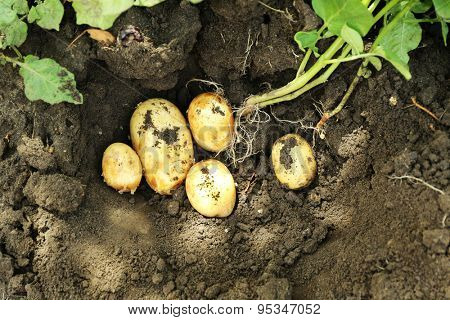 Crop of new potatoes over soil background