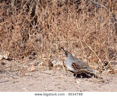 Gambel's Quail Standing In Clearing