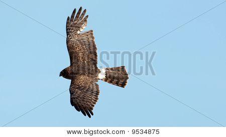 Northern Harrier em voo