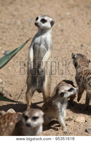 Meerkats (Suricata suricatta), also known as the suricate. Wildlife animals.