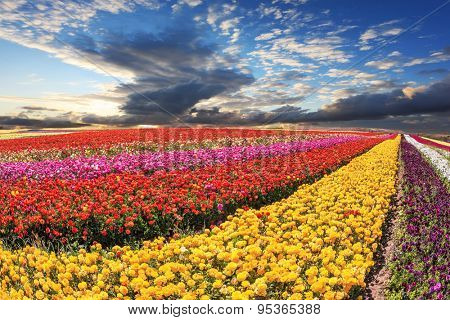 Flowers grow bright multi-colored strips and are ready to harvesting. Spring storm over field with buttercups /ranunculus/