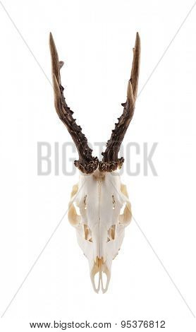 Animal skull with antlers isolated on white with clipping path