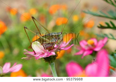 Large grasshopper on a zinnia flower