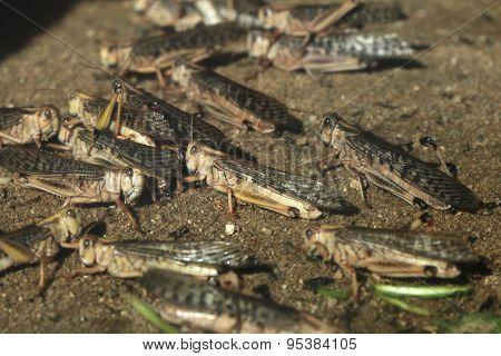 Desert locust (Schistocerca gregaria). Wildlife animals.