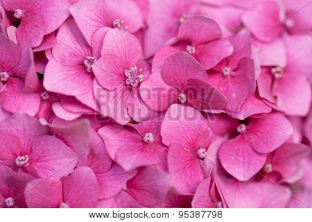 Pink hydrangea close up