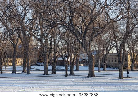 Alley of old elm trees - historical Oval at Colorado State University campus, Fort Collins, winter morning