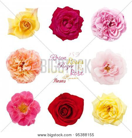 Rose blossoms. Variety of rose flowers arranged in a square on white background, the word Rose in different languages in center.