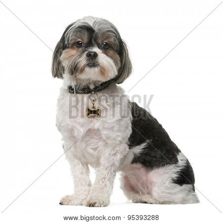 Shih Tzu (3 years old) in front of a white background