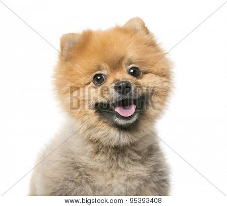 Pomeranian (3 years old) in front of a white background