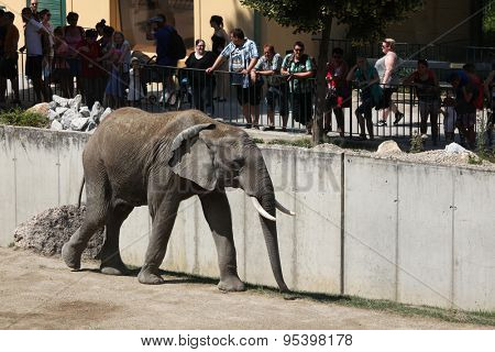 VIENNA, AUSTRIA - JUNE 7, 2015: Visitors look at the African bush elephant (Loxodonta africana) at Schonbrunn Zoo in Vienna, Austria.